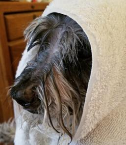 Flea-Free-Momo-bubble-bath-toweled